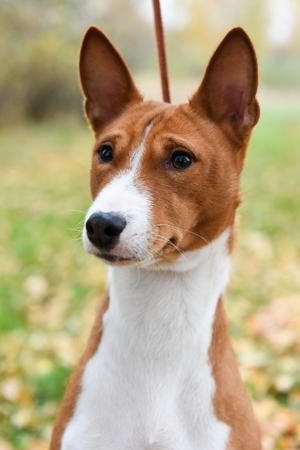 Adult red Basenji dog portrait on nature Stock Photo