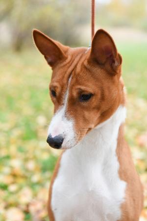nice adult red Basenji dog portrait on nature