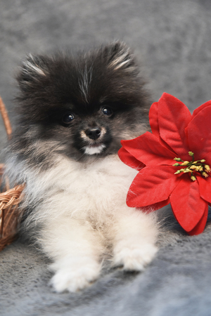 Pomeranian Spitz dog puppy and flower, Christmas card or background for New Year
