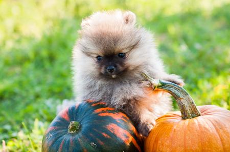 Funny Pomeranian dog close up and pumpkin, Halloween background