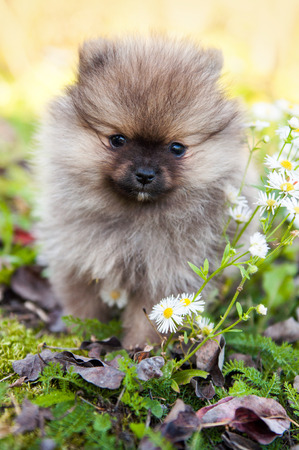 funny small pomeranian dog puppy is sitting on autumn background