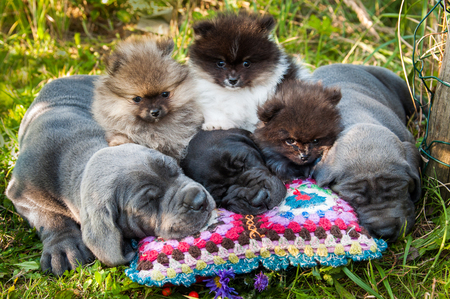 funny sleeping three Great Dane dogs puppies and three Pomeranian Spitz puppies and pumpkin