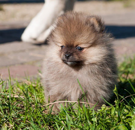 funny small pomeranian dog puppy is walking