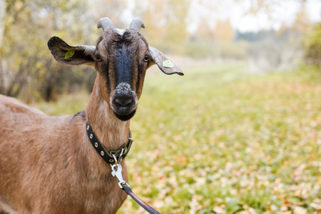 Goat of the Nubian breed is standing on the field road