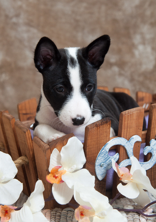 small black Basenji dog puppy is sitting in the basket Stock Photo