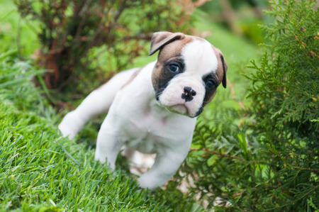 Funny nice red white American Bulldog puppy is walking on the grass. Puppys acquaintance with nature. Dog puppy is afraid and interested in the world around him