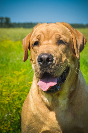 Gold Labrador dog portrait on the grass in the field