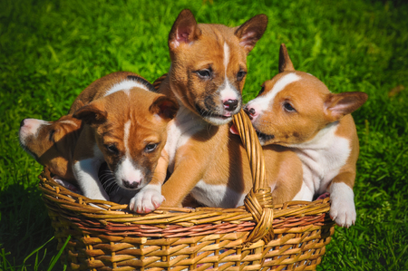 funny red Basenji dogs puppy in the basket on green grass