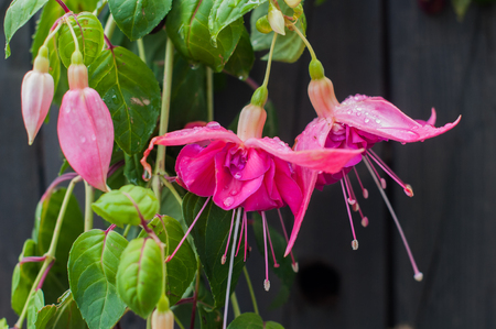 blooming Pink and purple Fuchsia flowers with drops Stock Photo