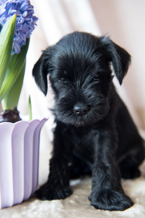 young Miniature Schnauzer puppy dog with blue hyacinths flowers