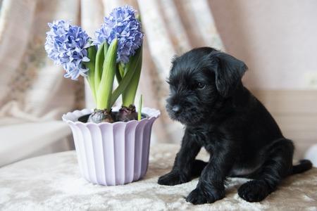 funny cute Miniature Schnauzer puppy dog portrait Stock Photo