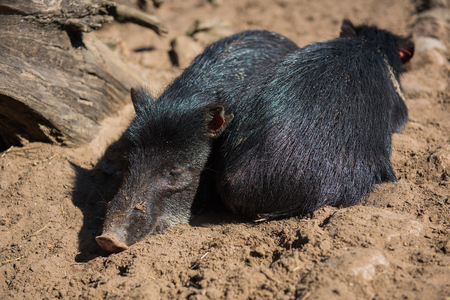 small black pigs sleeping on the sand in zoo