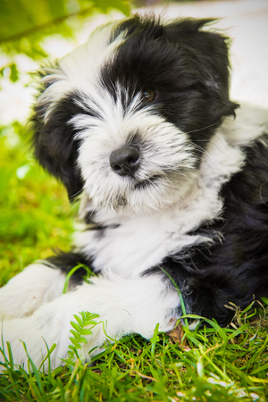 white funny Tibetan Terrier dog puppy is lying in the grass Stock Photo