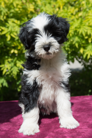 white funny Tibetan Terrier dog puppy is sitting on nature