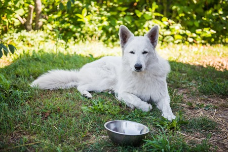 White swiss shepherd dog with a bowl. Dog is eating outside. Stock Photo