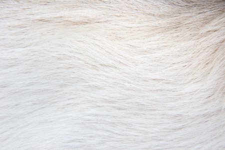 wool of a white dog. Texture white animal fur.