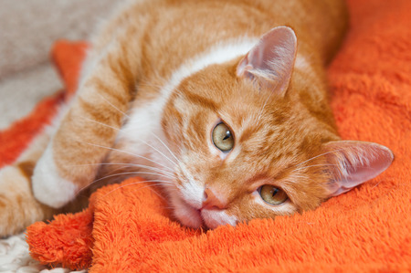bright red cat sweetly sleeping on the couch, the cat fell ill Stock Photo