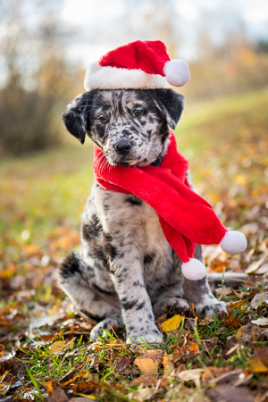 Funny Labrador puppy dog in New Year and Christmas Stock Photo