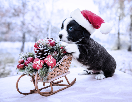 Funny welsh corgi pembroke puppy with New Year sled with gifts on Christmas Stock Photo - 113138124