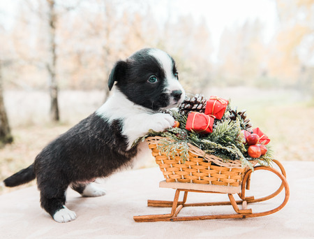 Funny welsh corgi pembroke puppy with New Year sled with gifts on Christmas Stock Photo