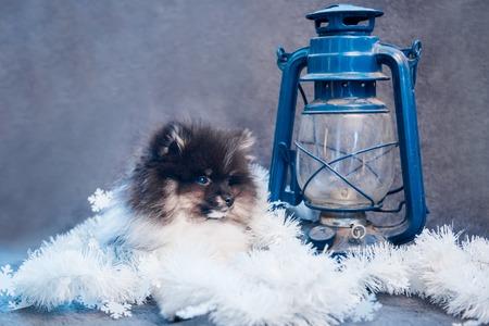 Pomeranian Spitz dog puppy in garlands and lantern