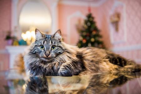 Norwegian forest cat portrait with bigfluffy muzzle inside interior house Фото со стока