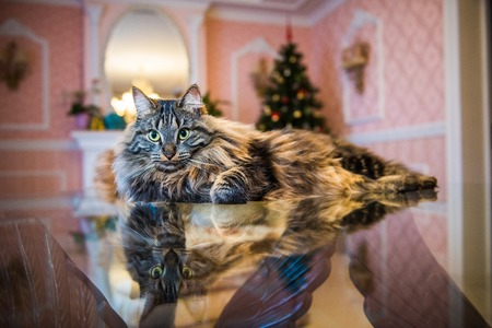 Norwegian forest cat portrait with big fluffy muzzle on the table with reflaction inside interior house