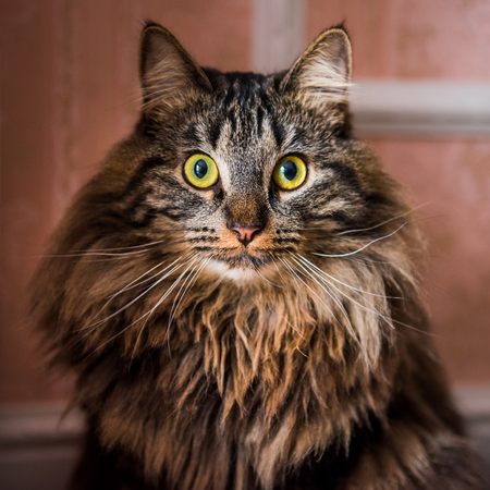 Norwegian forest cat portrait close up with big fluffy muzzle inside interior house. Allergy animal Archivio Fotografico