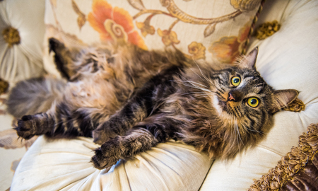 Norwegian forest cat portrait with big fluffy muzzle is lying on the couch in a funny belly-to-top pose Stockfoto