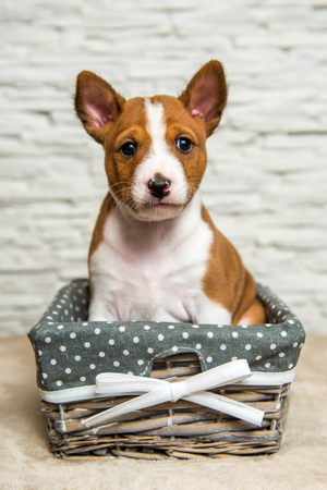 Funny red Basenji puppy dog in the basket, greeting card Stock Photo