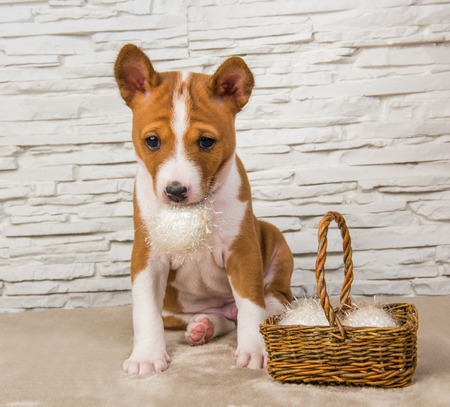 Funny Basenji puppy dog with white ball or snowball basket on New Year, Christmas