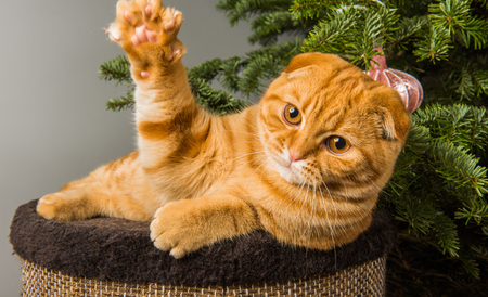 Beautiful Scottish Fold red cat is playing near Christmas tree