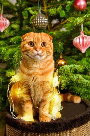 Beautiful Scottish Fold red cat is sitting near Christmas tree in lanterns