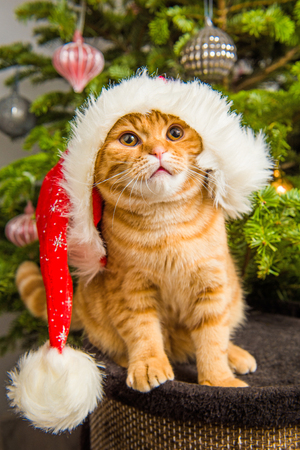 Beautiful Scottish Fold red cat in santa hat is sitting near Christmas tree Stock Photo