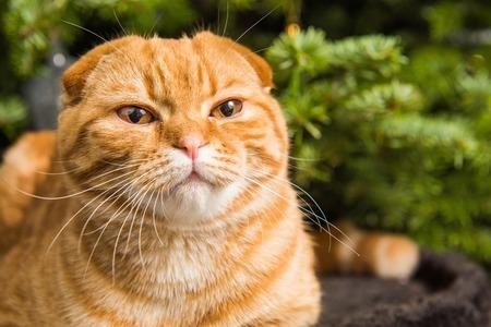 Beautiful Scottish Fold red cat is sitting near Christmas tree Imagens