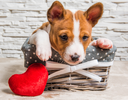 Funny red Basenji puppy dog in the basket with red heart on Valentines Day, greeting card
