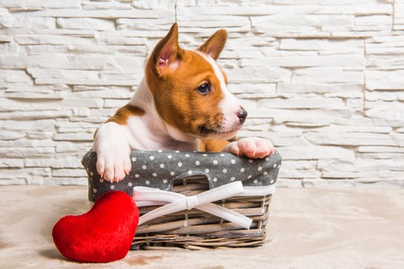 Funny red Basenji puppy dog profile in the basket with red heart on Valentines Day, greeting card