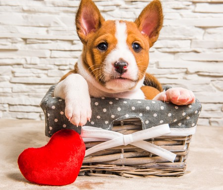 Funny red Basenji puppy dog in the basket with red heart on Valentines Day, greeting love card