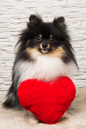 Pomeranian Spitz dog puppy with red heart, greeting card