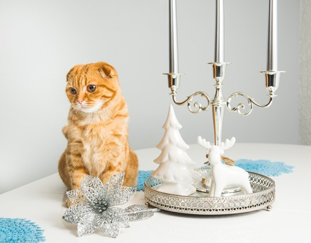 Scottish Fold red cat with candlestick on a white  on holiday. Cat and etiquette.