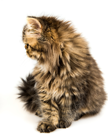 Beautiful Persian kitten cat muzzle profile marble color coat, three weeks old