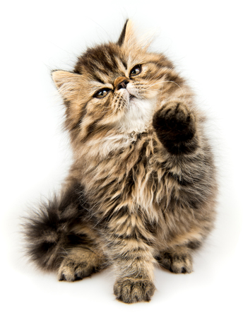Beautiful Persian kitten cat marble color coat is playing, three weeks old Stock Photo - 119491554