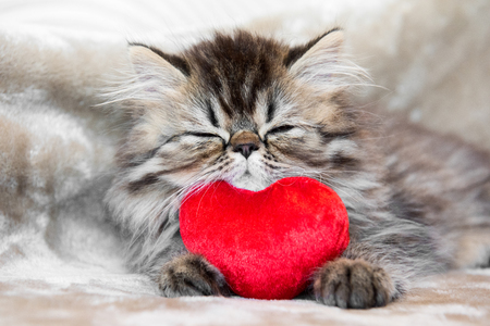 Funny Persian kitten cat marble color coat is sleeping with red heart Stok Fotoğraf