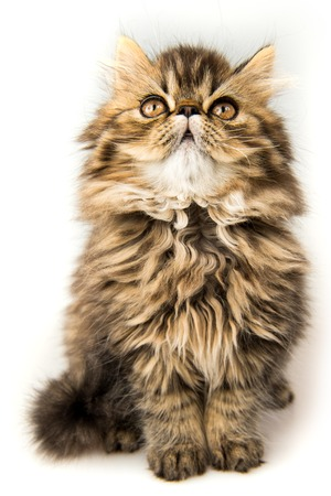 Beautiful Persian kitten cat muzzle marble color coat looking up, three weeks old