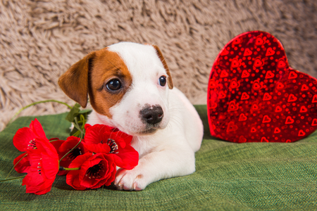 Jack Russell Terrier dog puppy are lying like an angel with red heart and flowers. Card on Valentines Day.