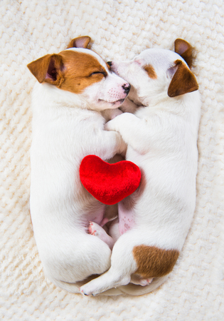 Couple of two funny puppies in love Jack Russell Terrier dogs are lying close together like an angel on the white  with red heart. Card on Valentines Day.