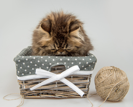 Funny Persian kitten cat marble color coat is playing with knitting thread in the basket, three weeks old