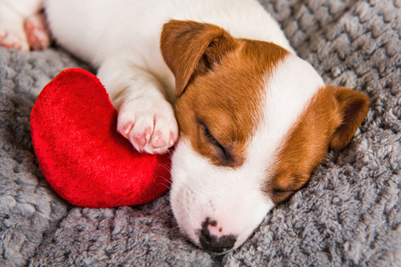 Jack Russell Terrier dog puppy are lying like an angel with red heart. Card on Valentines Day.