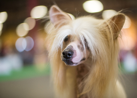 Close-up of a Chinese Crested dog with flowing hair on its head. A hairless breed of dog. Standard-Bild