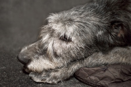 Profile of Irish Wolfhound dog close up muzzle portrait, dog is sleeping Stock Photo